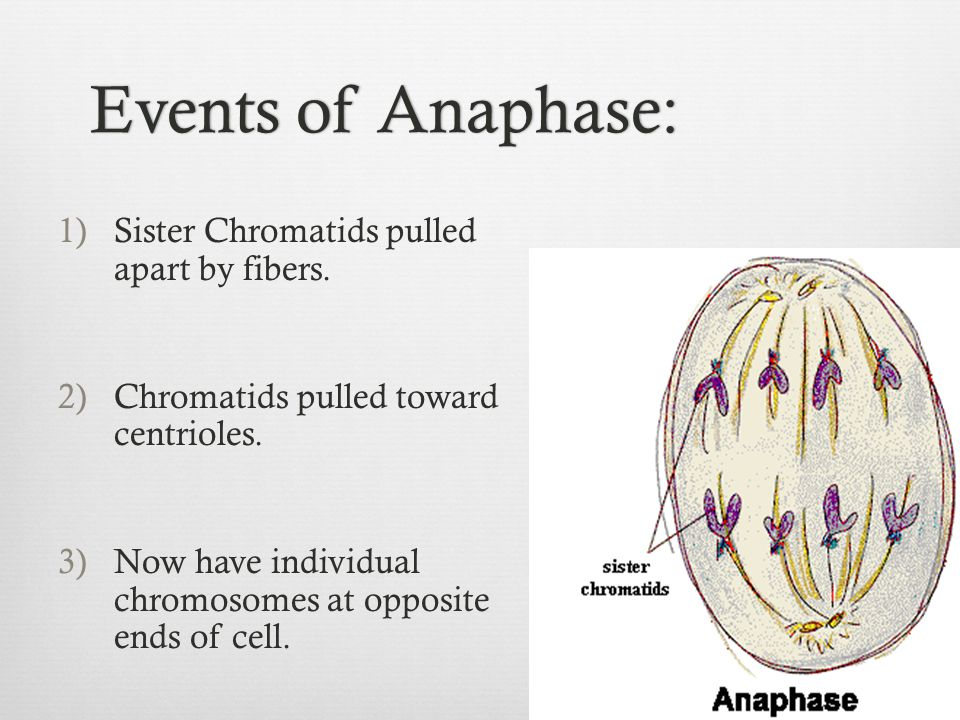 Events of Anaphase: Sister Chromatids pulled apart by fibers.