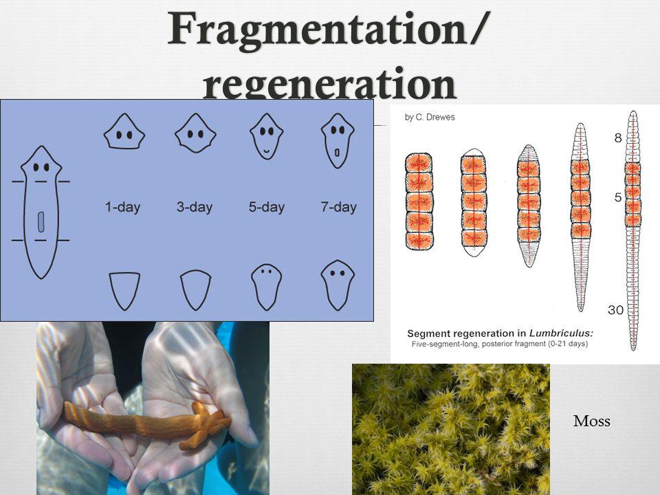 Fragmentation/ regeneration