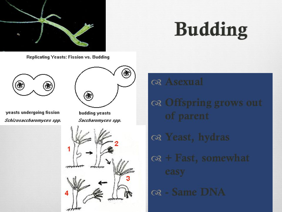 Budding Asexual Offspring grows out of parent Yeast, hydras