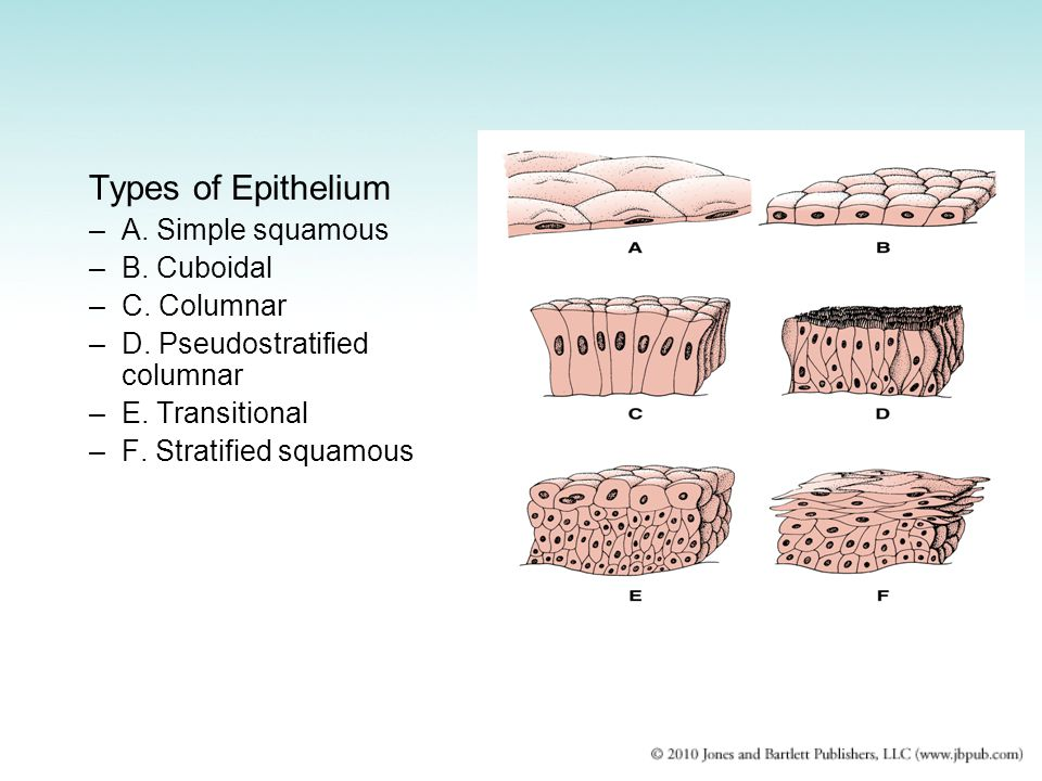 Types of Epithelium A. Simple squamous B. Cuboidal C. Columnar