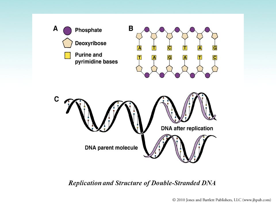 Replication and Structure of Double-Stranded DNA