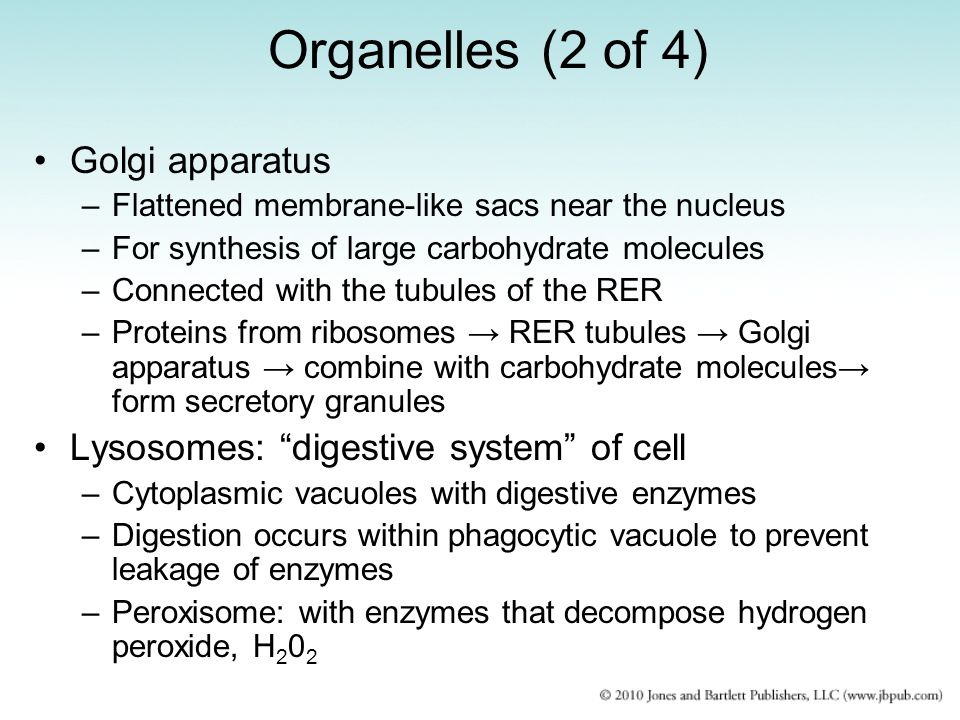 Organelles (2 of 4) Golgi apparatus