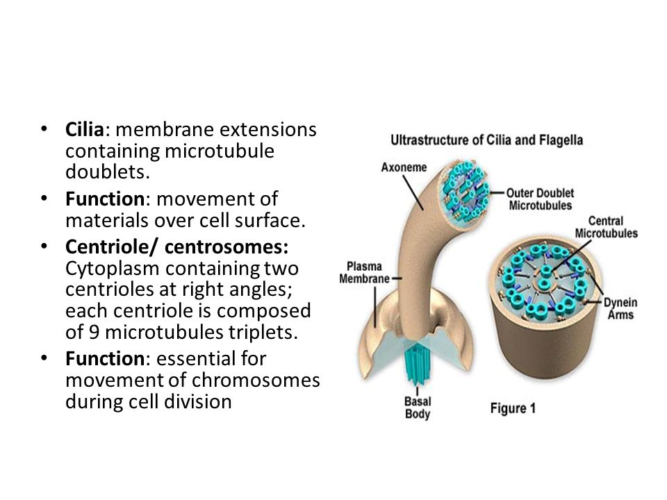 Cilia: membrane extensions containing microtubule doublets.