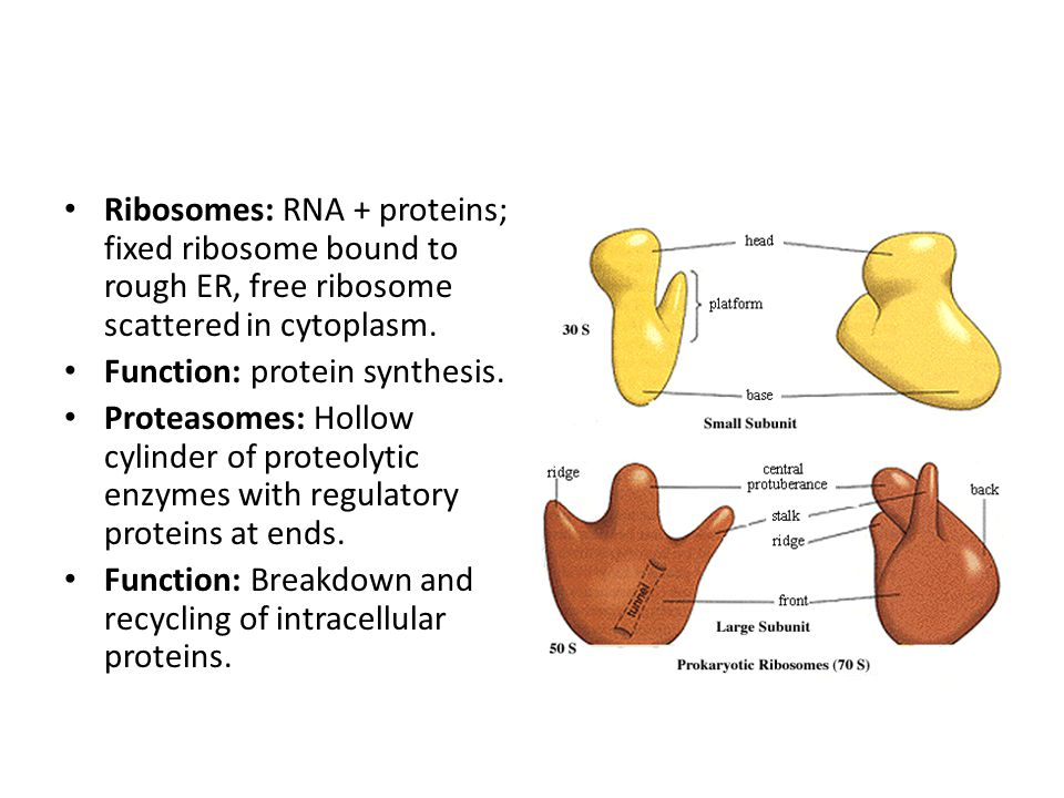 Ribosomes: RNA + proteins; fixed ribosome bound to rough ER, free ribosome scattered in cytoplasm.
