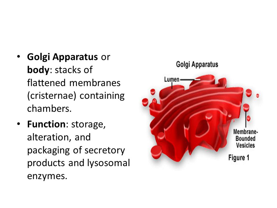 Golgi Apparatus or body: stacks of flattened membranes (cristernae) containing chambers.