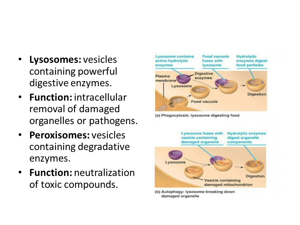 Lysosomes: vesicles containing powerful digestive enzymes.