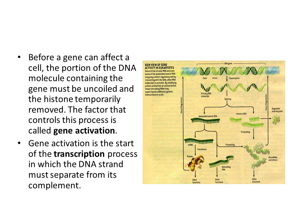 Before a gene can affect a cell, the portion of the DNA molecule containing the gene must be uncoiled and the histone temporarily removed. The factor that controls this process is called gene activation.