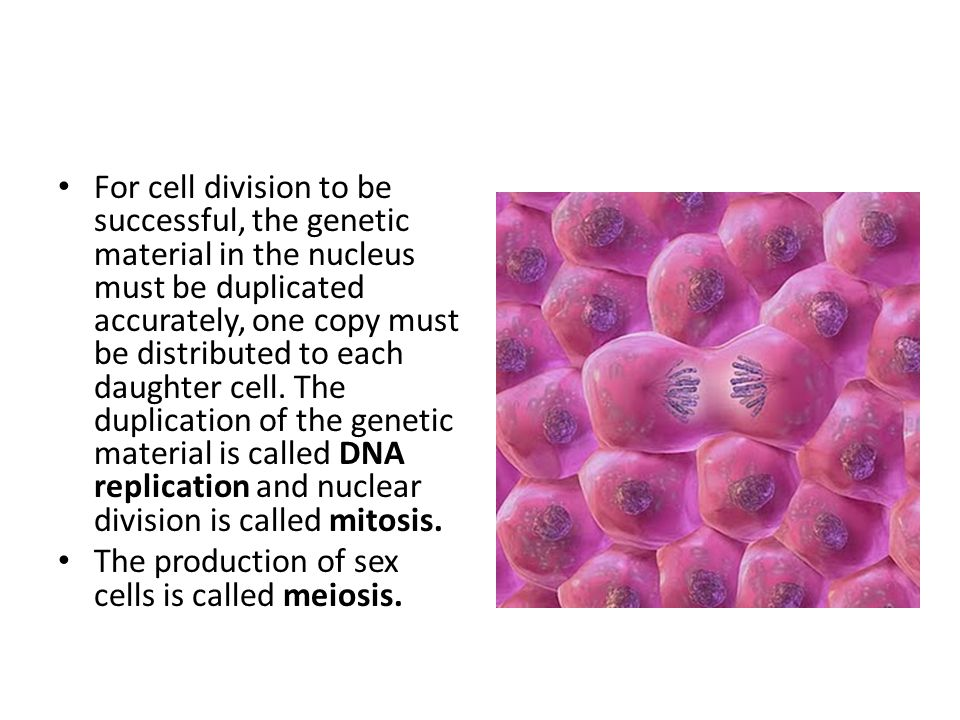 For cell division to be successful, the genetic material in the nucleus must be duplicated accurately, one copy must be distributed to each daughter cell. The duplication of the genetic material is called DNA replication and nuclear division is called mitosis.