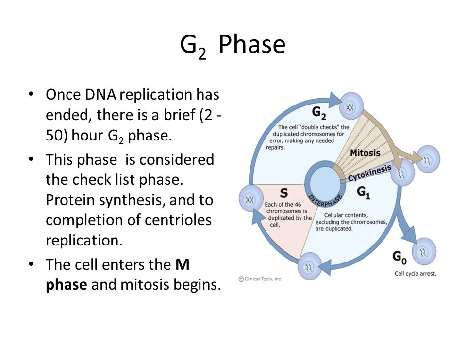 G2 Phase Once DNA replication has ended, there is a brief (2 -50) hour G2 phase.