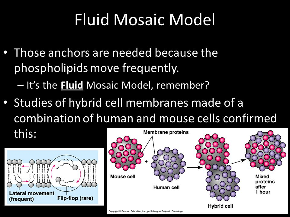 Fluid Mosaic Model Those anchors are needed because the phospholipids move frequently. It's the Fluid Mosaic Model, remember