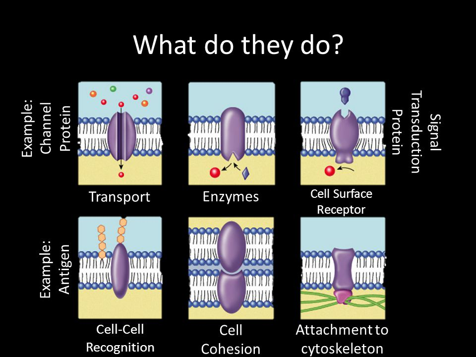 What do they do Example: Channel Protein Signal Transduction Protein