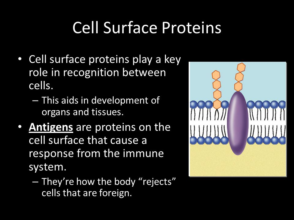 Cell Surface Proteins Cell surface proteins play a key role in recognition between cells. This aids in development of organs and tissues.