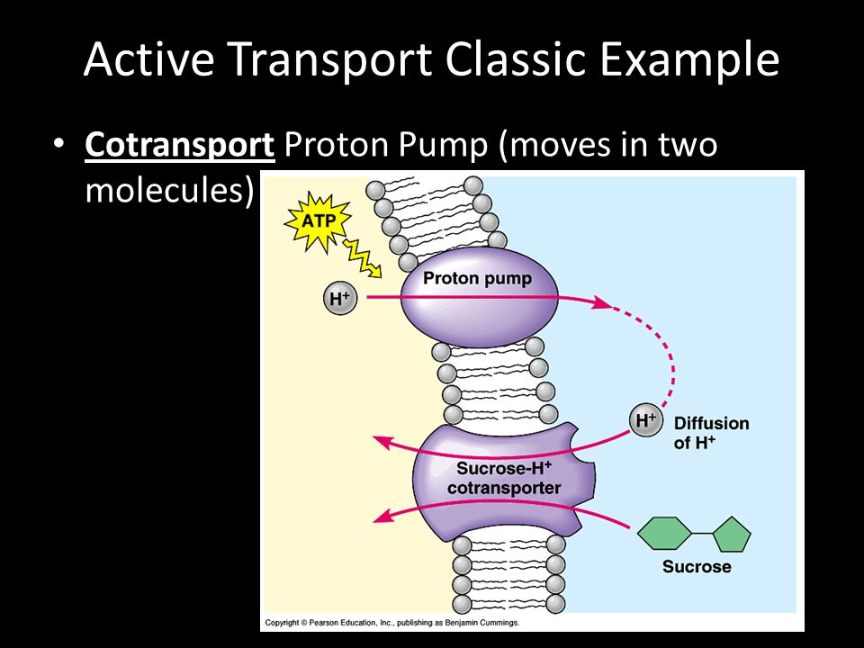 Active Transport Classic Example