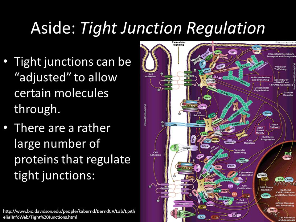 Aside: Tight Junction Regulation