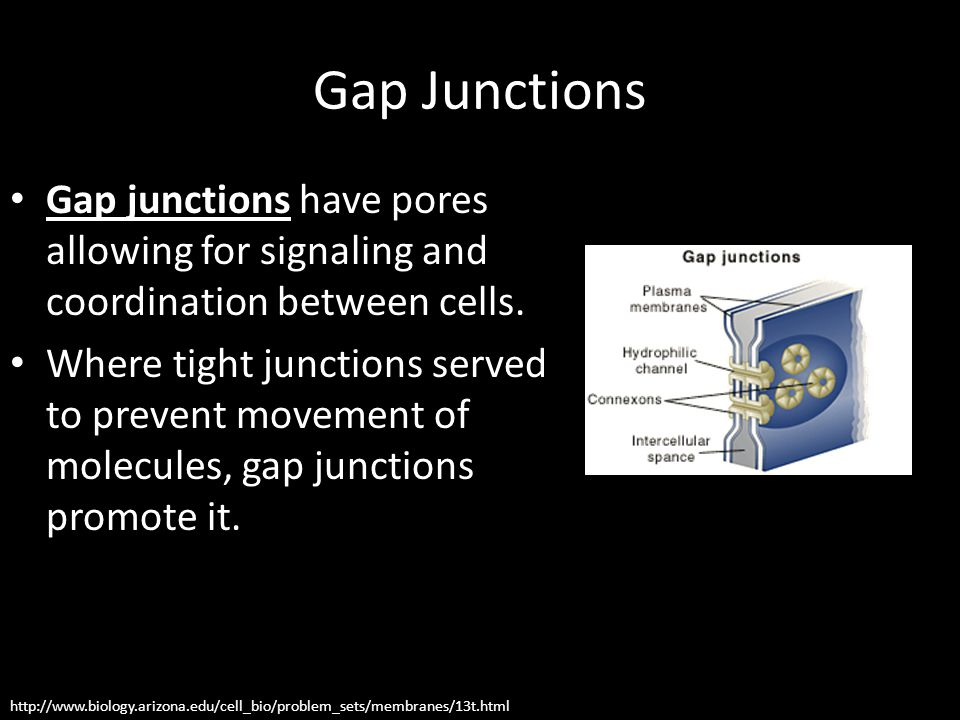 Gap Junctions Gap junctions have pores allowing for signaling and coordination between cells.