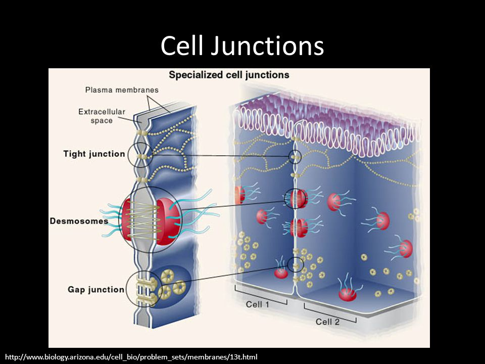 Cell Junctions http://www.biology.arizona.edu/cell_bio/problem_sets/membranes/13t.html