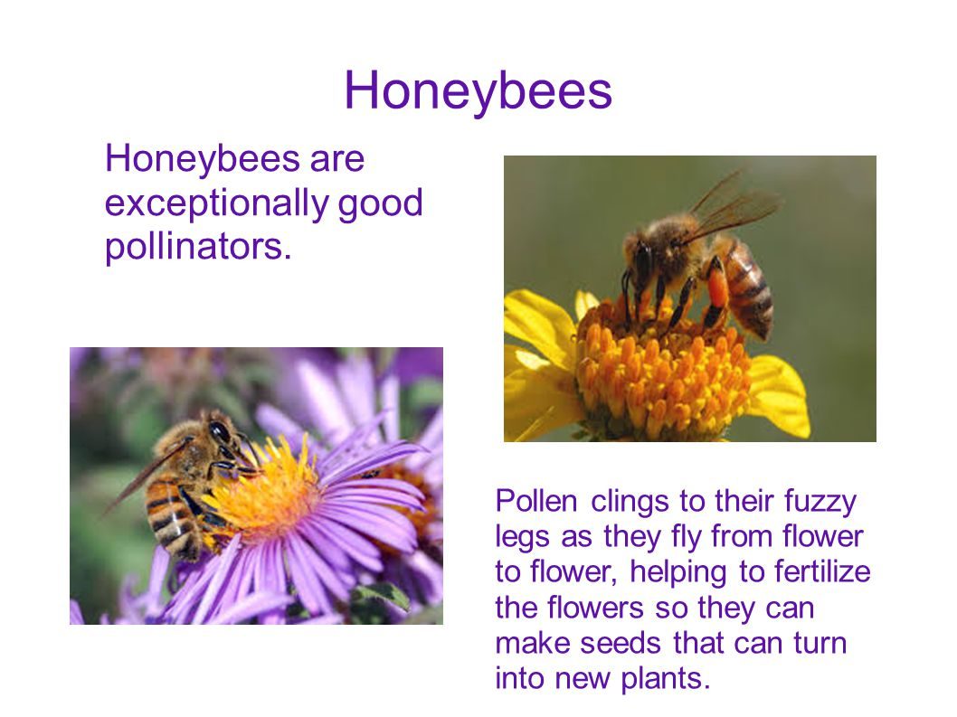 Honeybees Honeybees are exceptionally good pollinators.