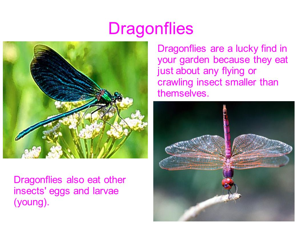 Dragonflies Dragonflies are a lucky find in your garden because they eat just about any flying or crawling insect smaller than themselves.