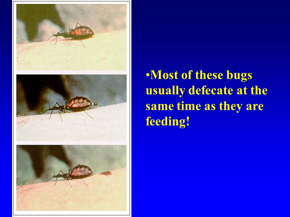 Most of these bugs usually defecate at the same time as they are feeding!