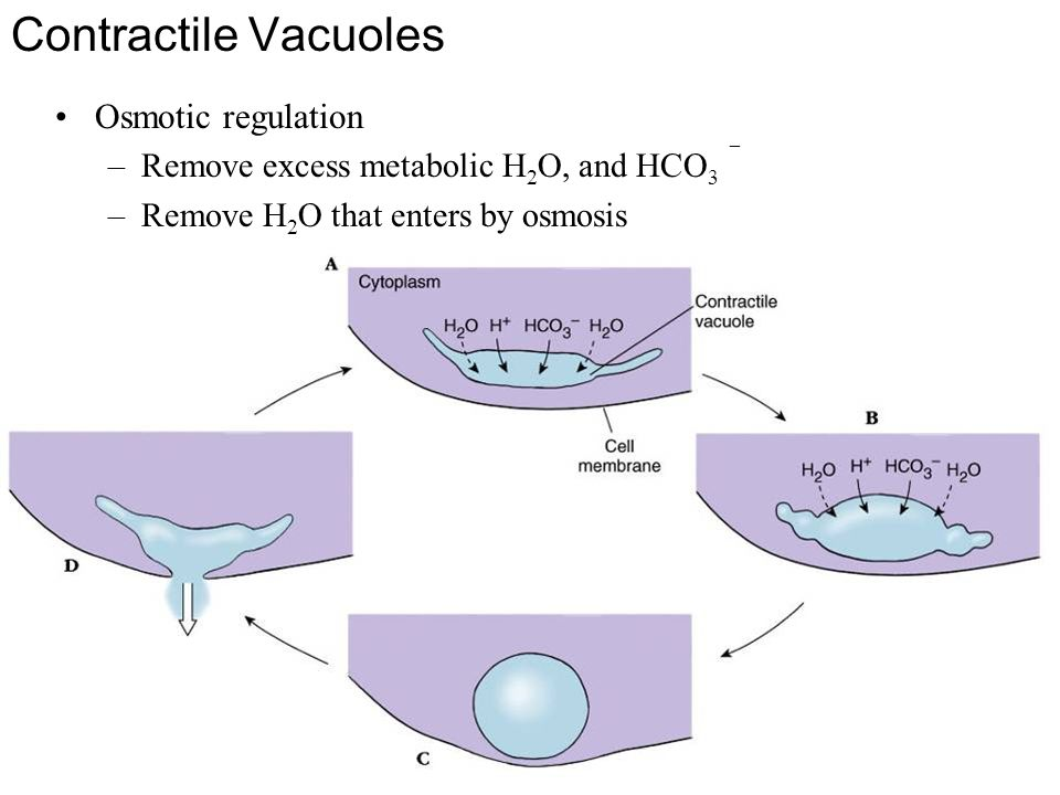 Contractile Vacuoles Osmotic regulation