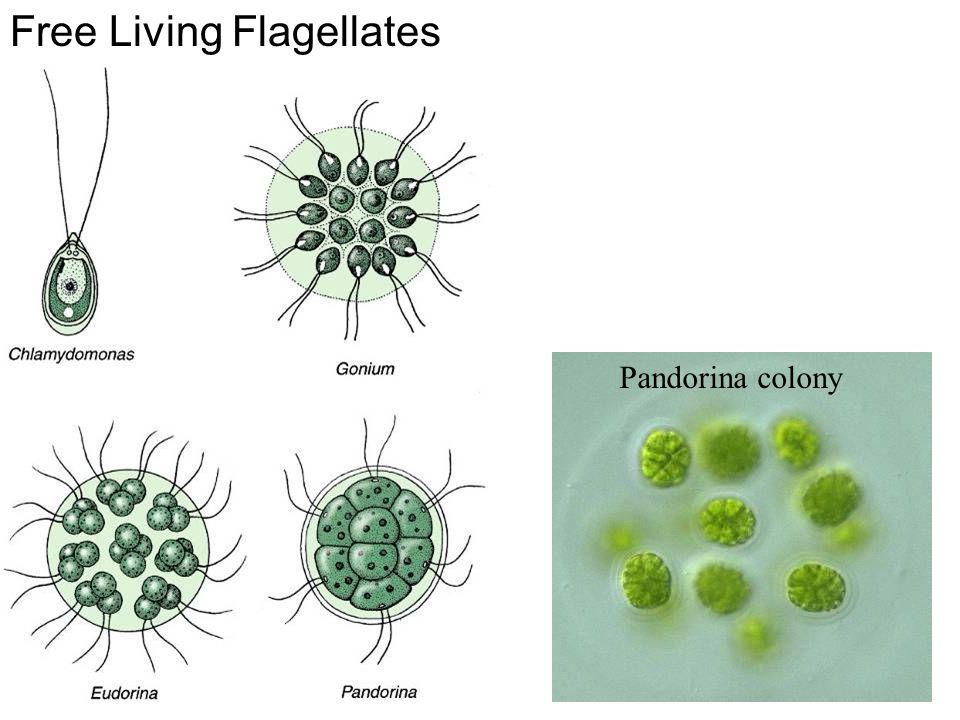 Free Living Flagellates