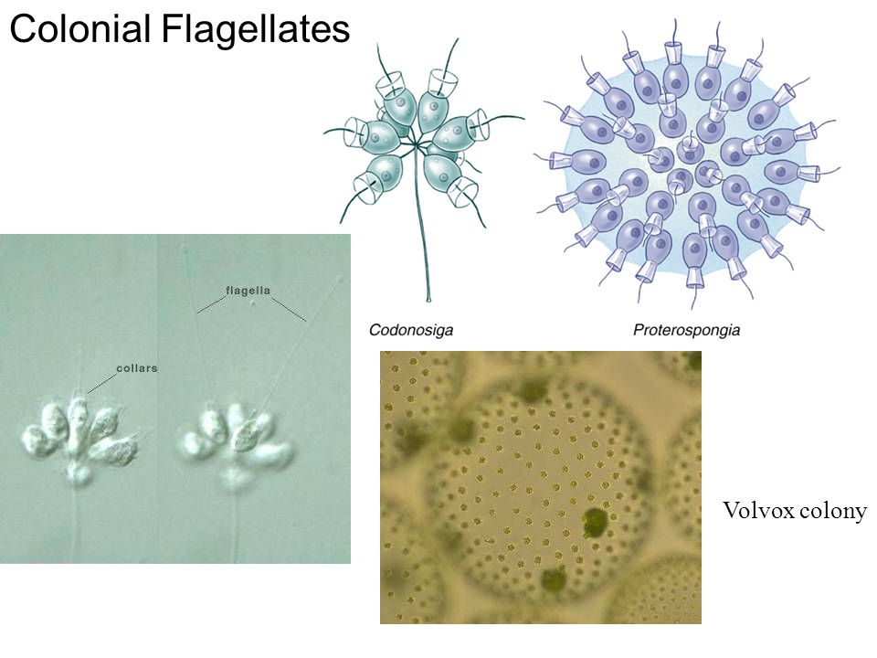 Colonial Flagellates Fig. 11.30 Volvox colony
