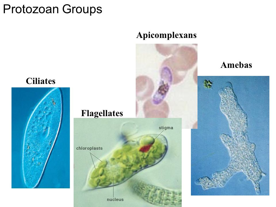 Protozoan Groups Apicomplexans Amebas Ciliates Fig. 11.CO Flagellates