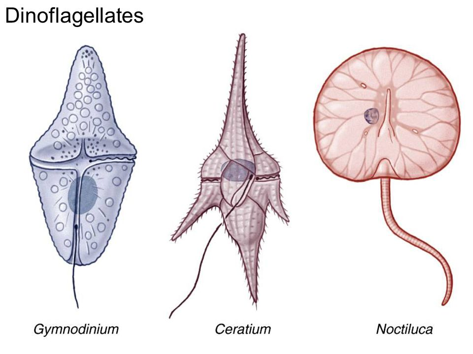 Dinoflagellates Fig. 11.25