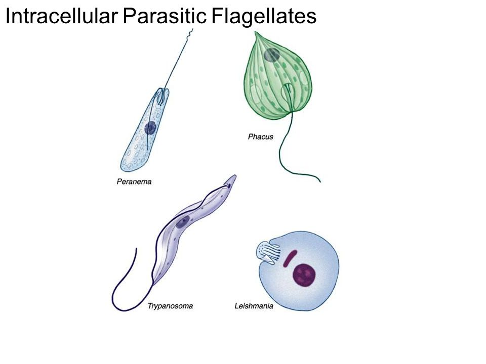 Intracellular Parasitic Flagellates