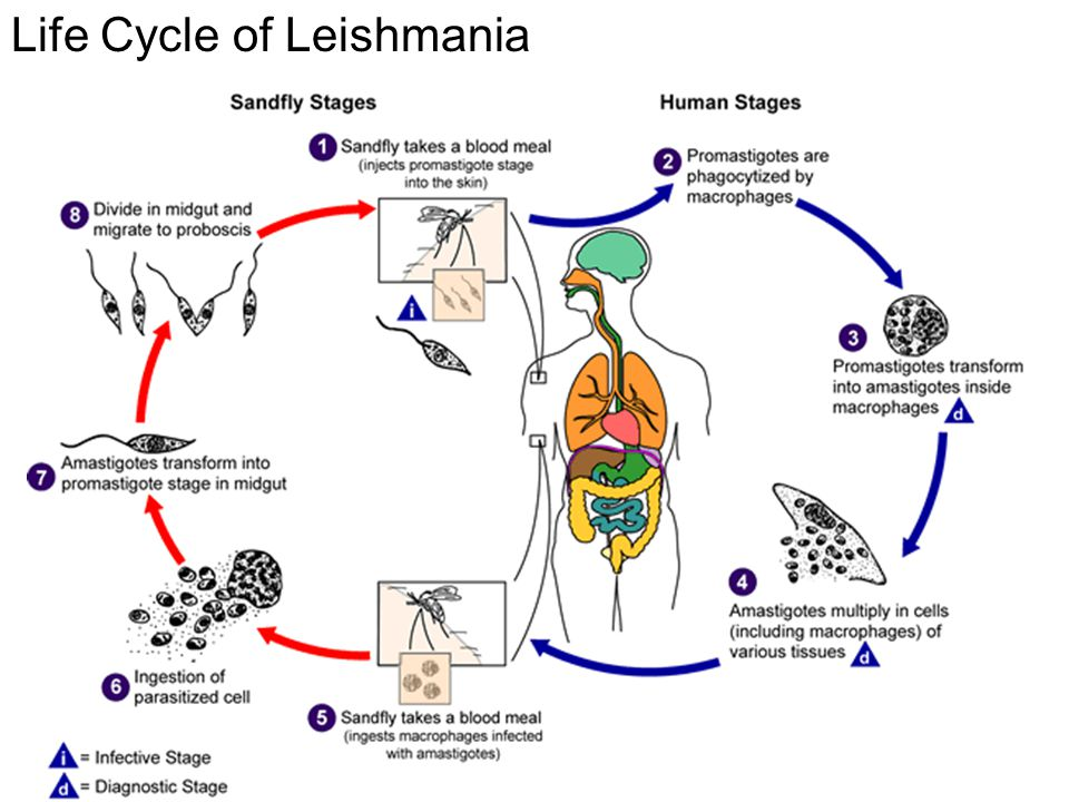 Life Cycle of Leishmania