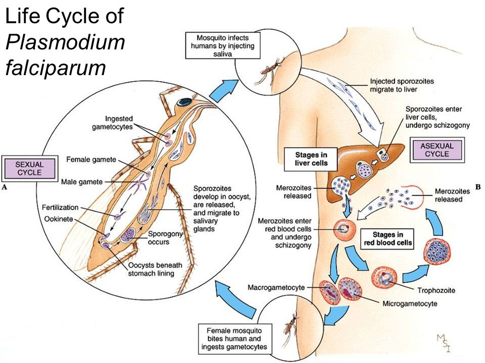 Life Cycle of Plasmodium falciparum