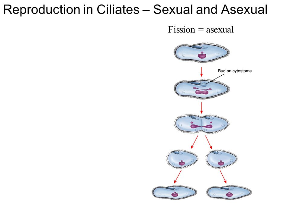 Reproduction in Ciliates – Sexual and Asexual