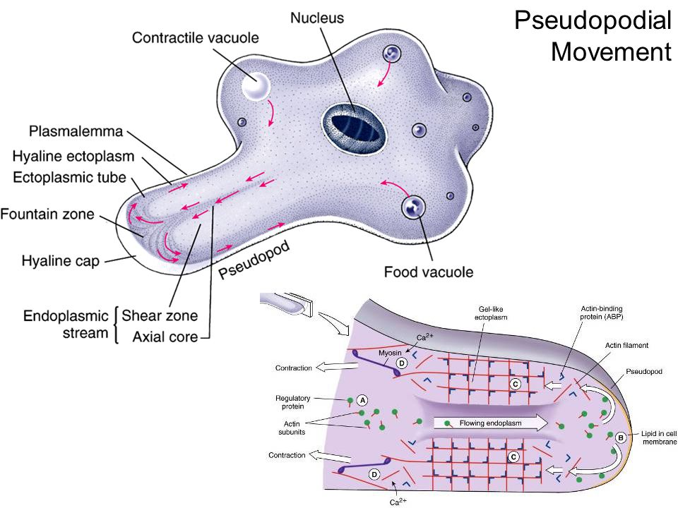 Pseudopodial Movement