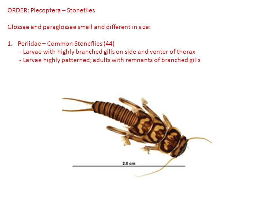 ORDER: Plecoptera – Stoneflies