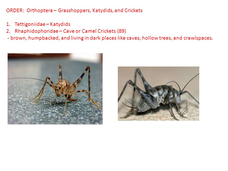 ORDER: Orthoptera – Grasshoppers, Katydids, and Crickets