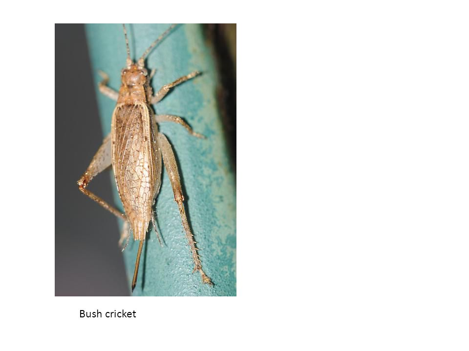 Bush cricket