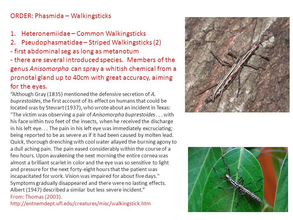 ORDER: Phasmida – Walkingsticks Heteronemiidae – Common Walkingsticks