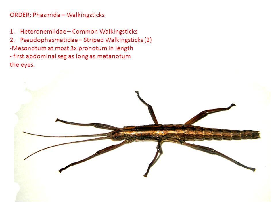 ORDER: Phasmida – Walkingsticks