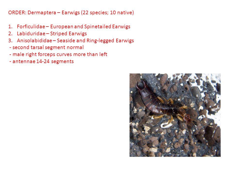 ORDER: Dermaptera – Earwigs (22 species; 10 native)