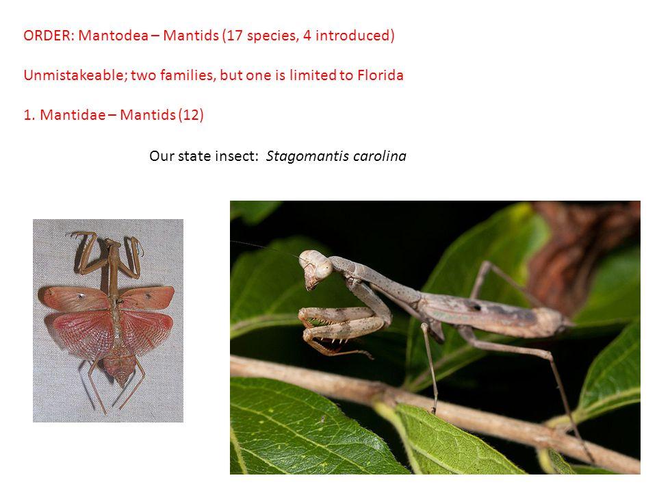 ORDER: Mantodea – Mantids (17 species, 4 introduced)