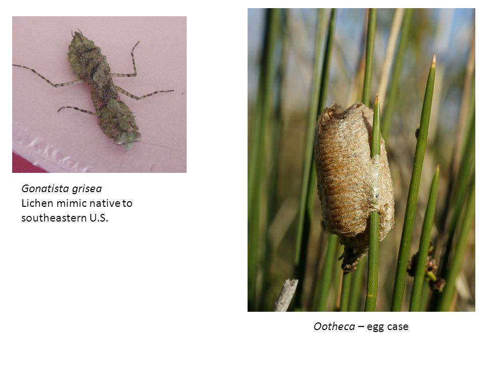 Gonatista grisea Lichen mimic native to southeastern U.S. Ootheca – egg case