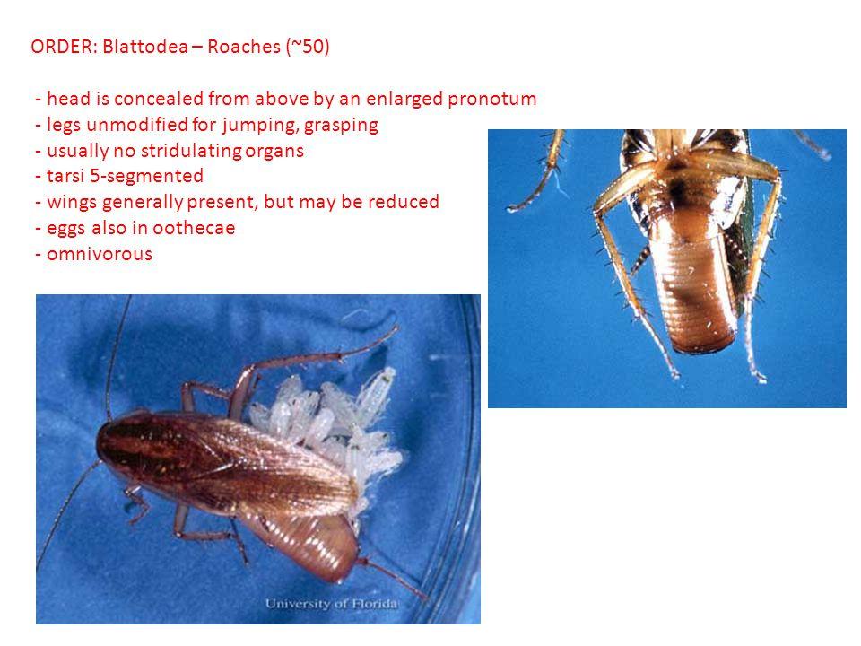 ORDER: Blattodea – Roaches (~50)