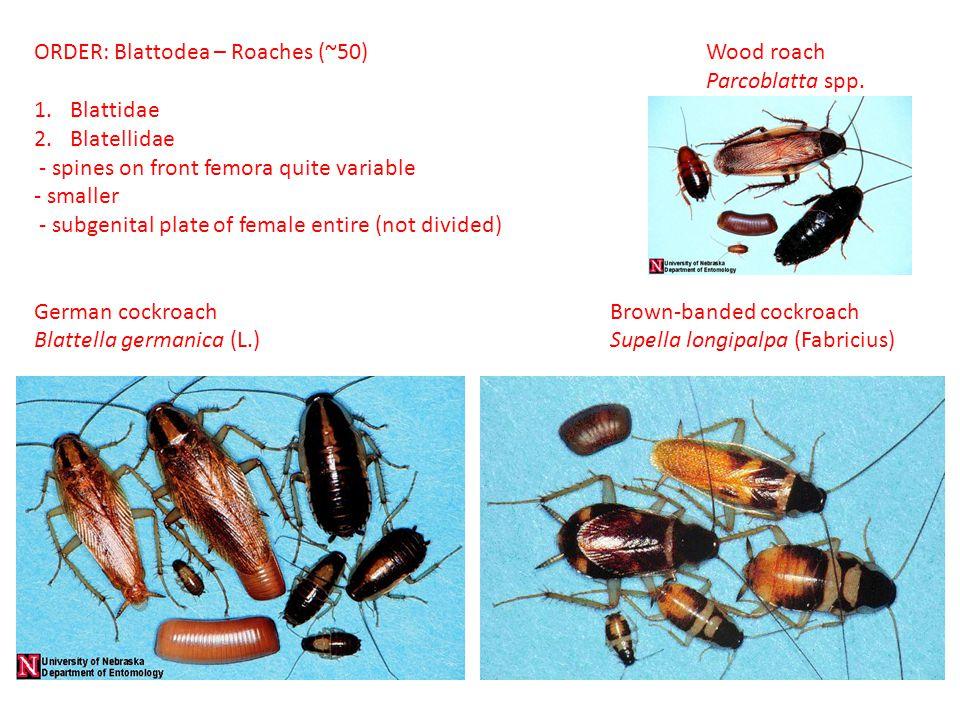 ORDER: Blattodea – Roaches (~50) Wood roach