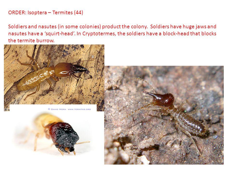 ORDER: Isoptera – Termites (44)
