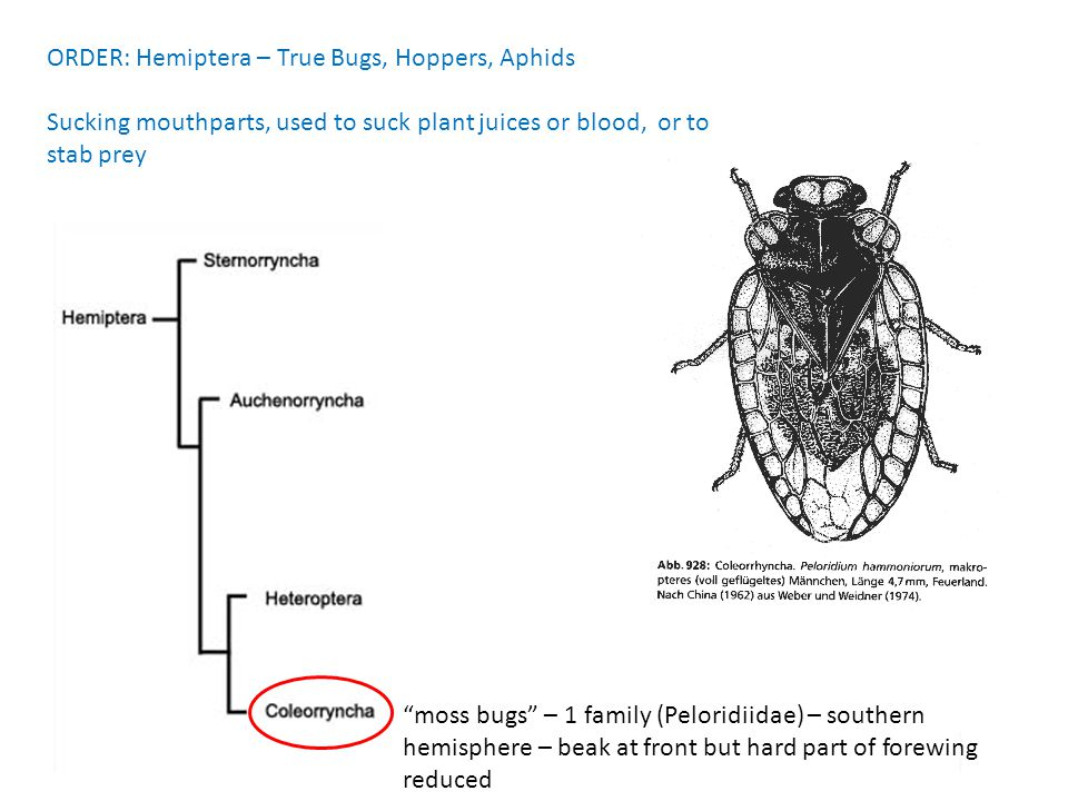 ORDER: Hemiptera – True Bugs, Hoppers, Aphids