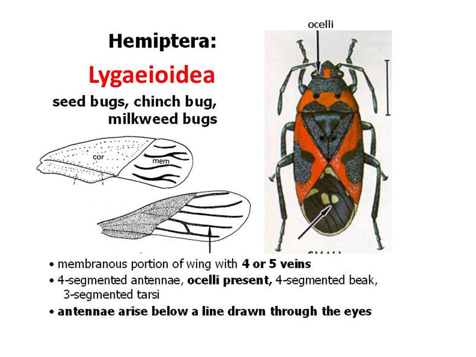 Lygaeioidea