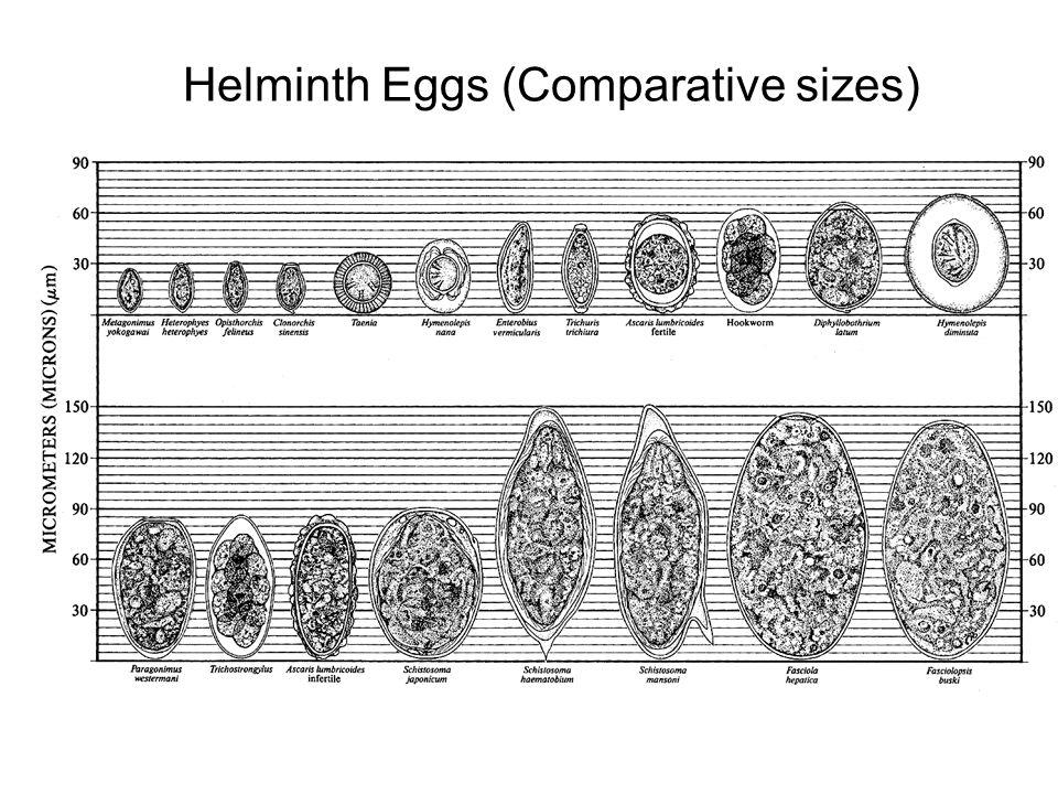 Helminth Eggs (Comparative sizes)