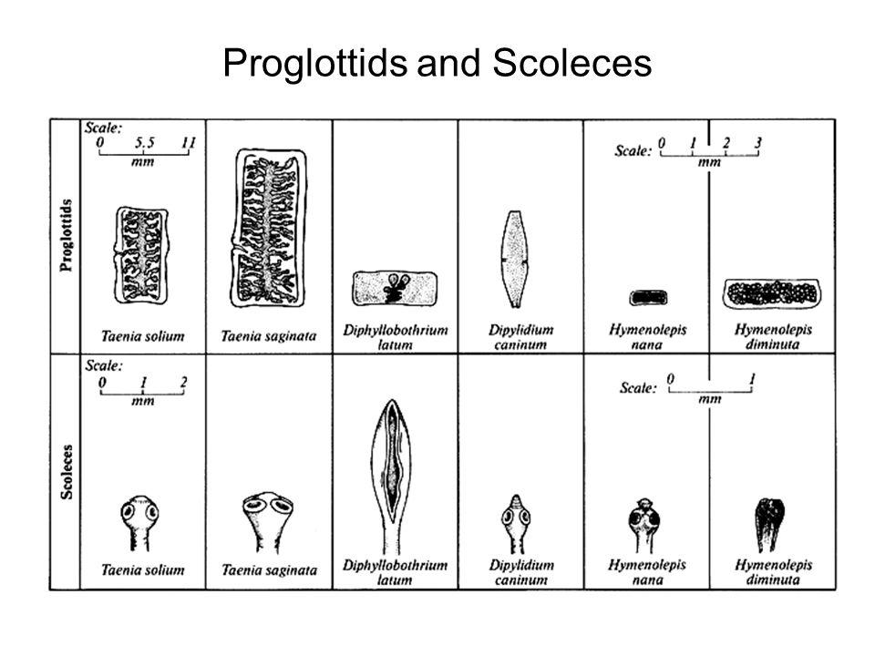 Proglottids and Scoleces