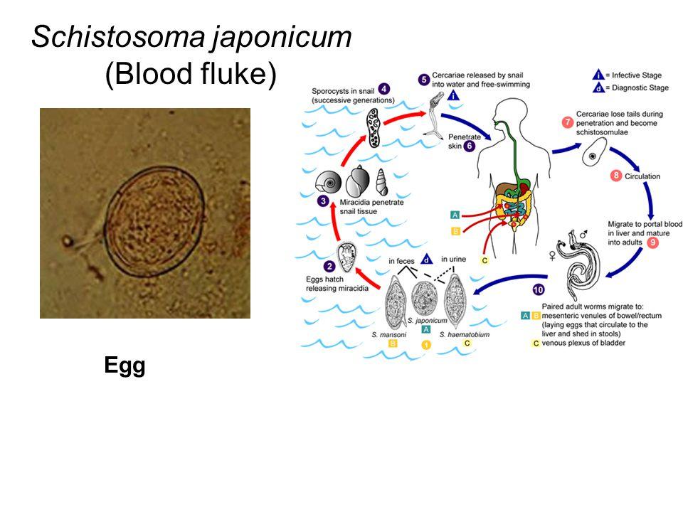 Schistosoma japonicum (Blood fluke)
