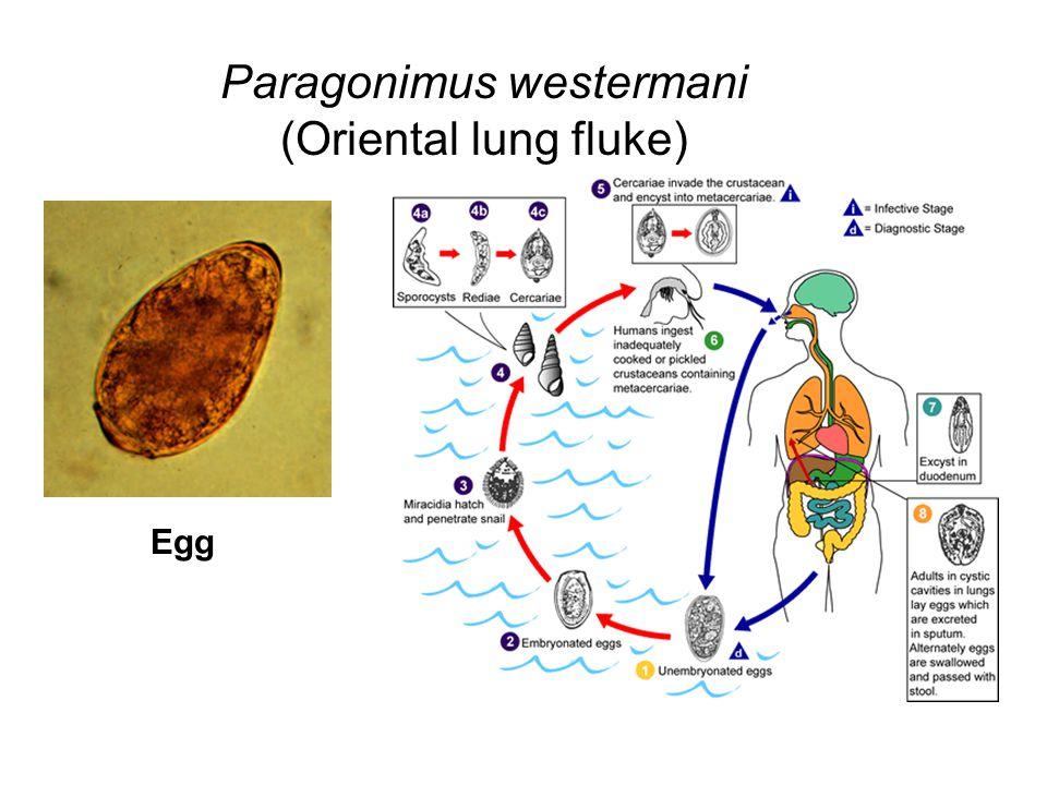 Paragonimus westermani (Oriental lung fluke)